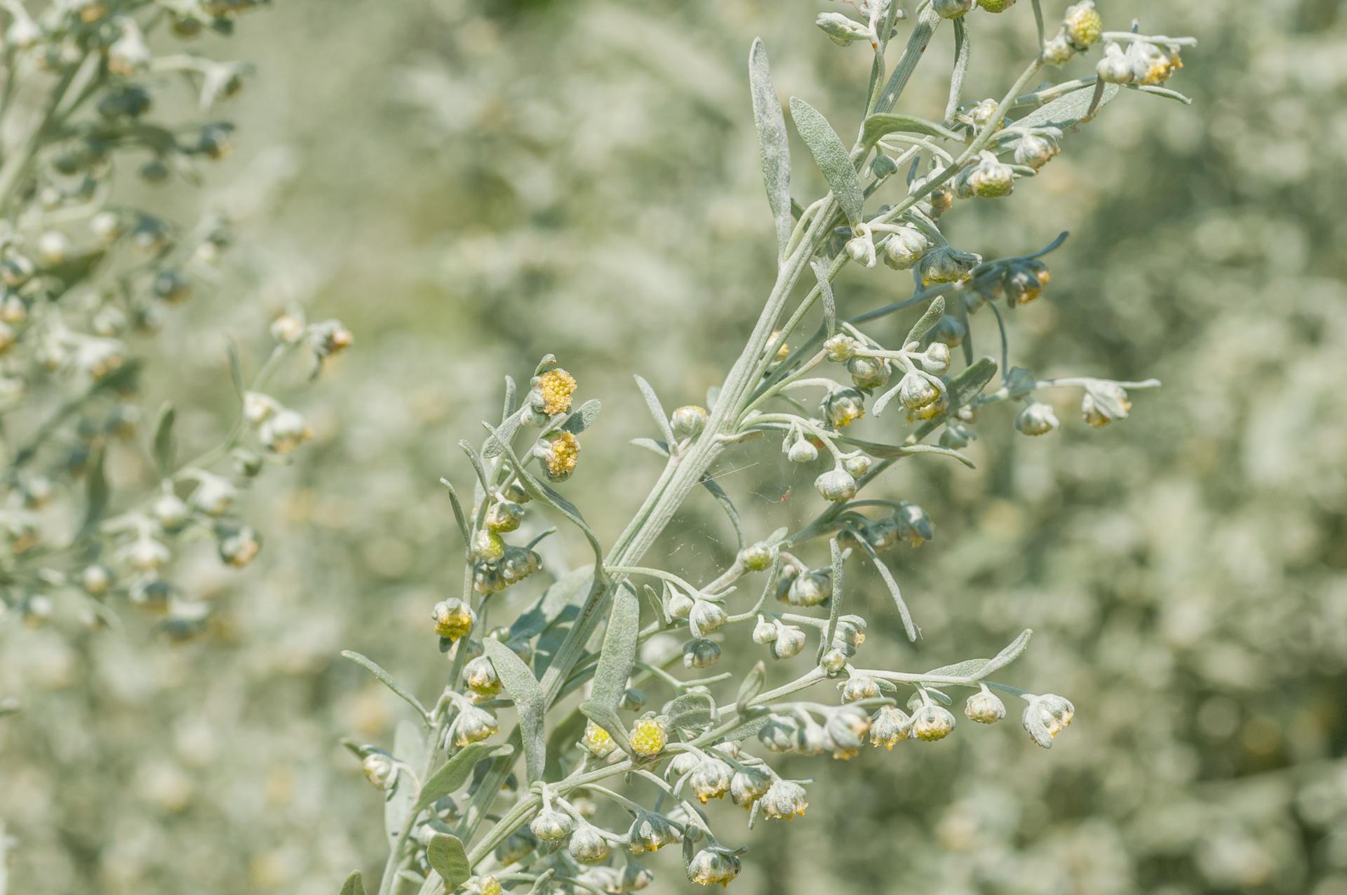 Artemisia-absinthum