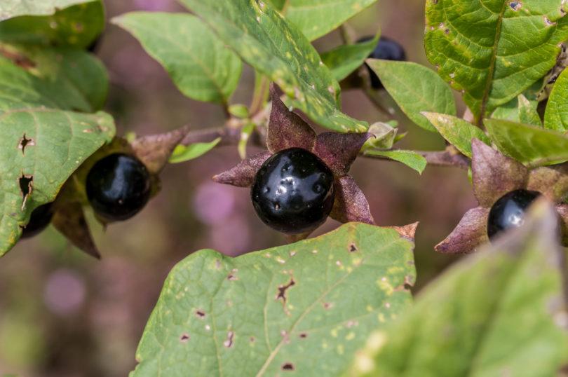 Atropa-belladonna