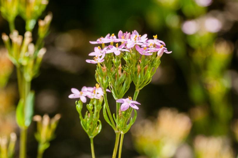 Centaurium-erythraea