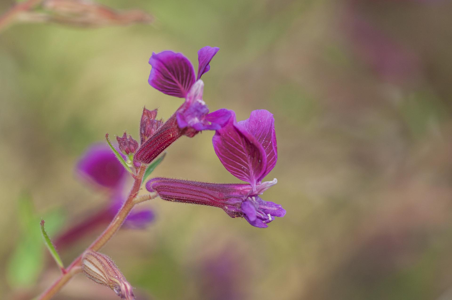 Cuphea-procumbens