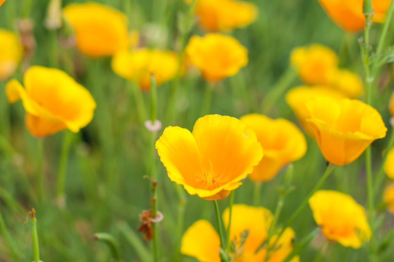 Eschscholzia-californica
