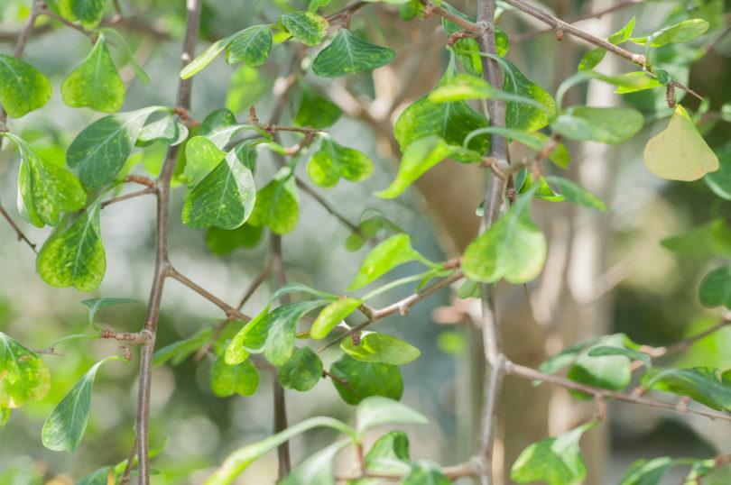Euphorbia-cuneata