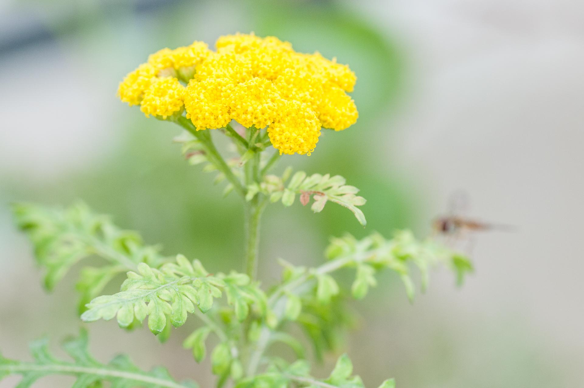 Gonospermum-canariense