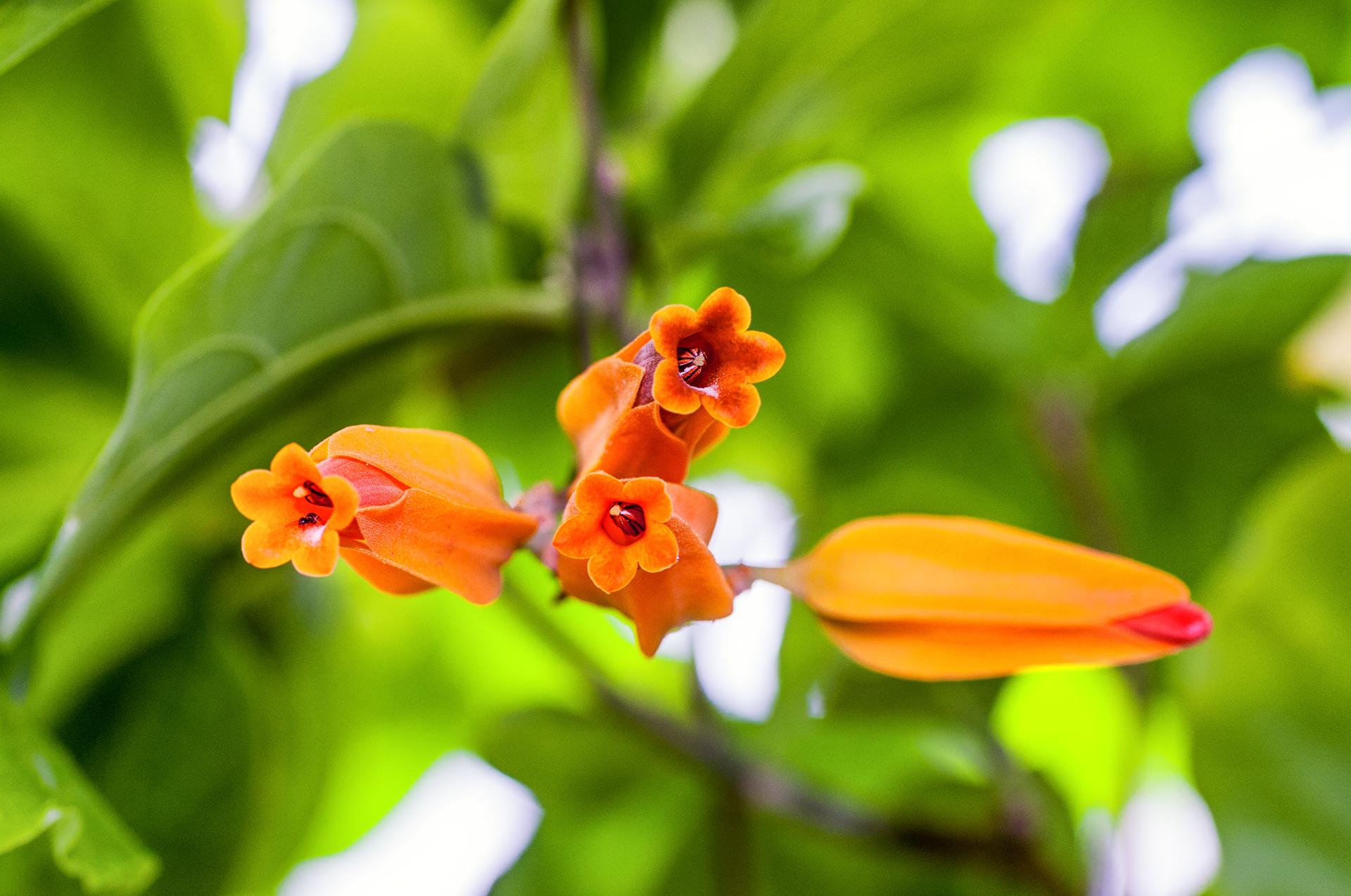 Juanulloa-aurantiaca