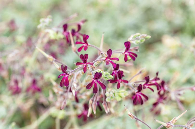 Pelargonium-sidoides-Umckaloabo-1