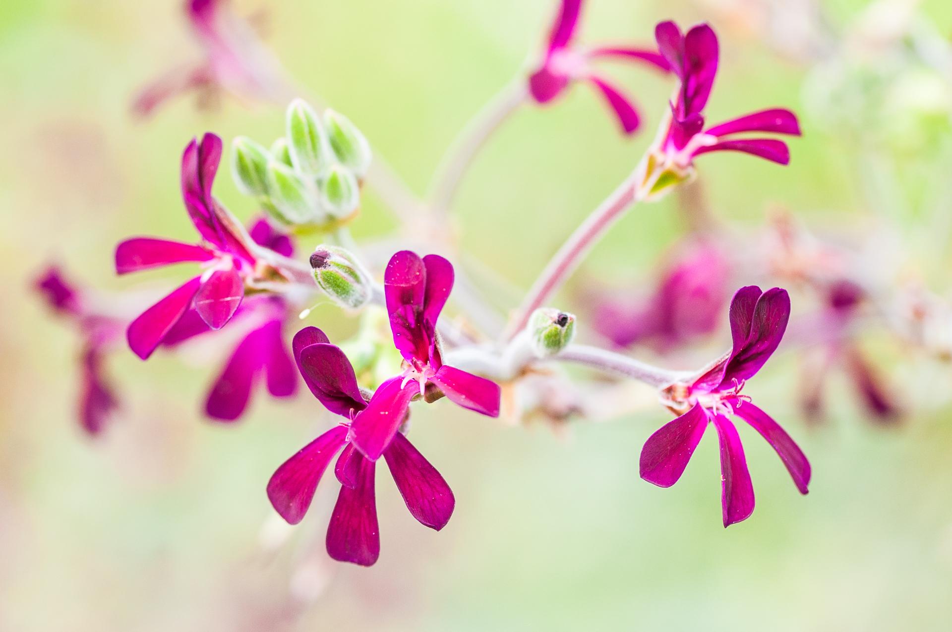 Pelargonium-sidoides-Umckaloabo-4
