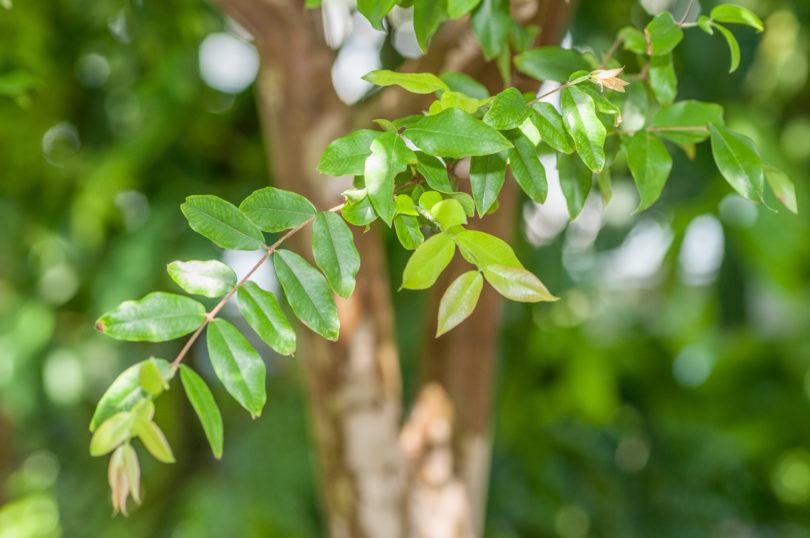 Plinia-cauliflora