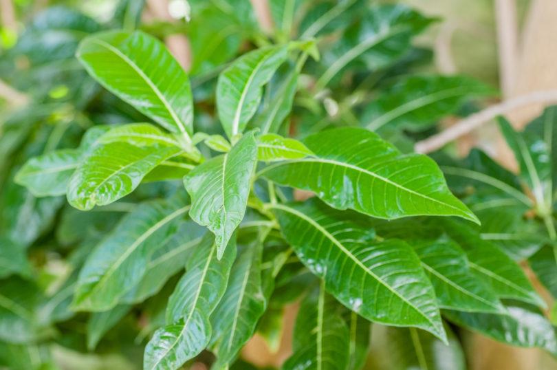 Roupellina-boivinii
