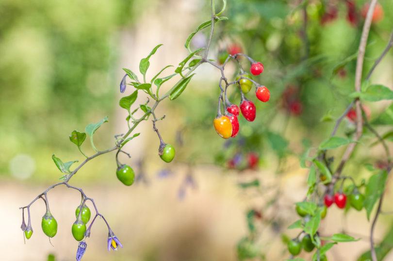Solanum-dulcamara